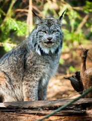 Wildcat Lynx Medium Sized Wild Animal Cat Genus Felis