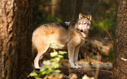 North American Timberwolf Wild Animal Wolf Canine Predator Alpha