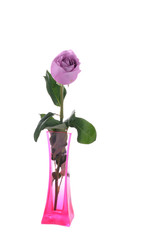 Purple rose in vase