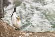 gannet nesting on steep cliffs
