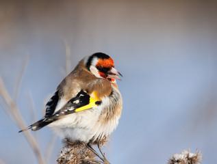 European Goldfinch on burdock