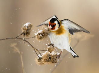 European Goldfinch flits over the burdock