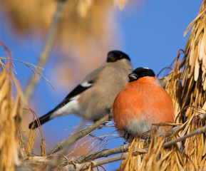 Bullfinches on branch of maple