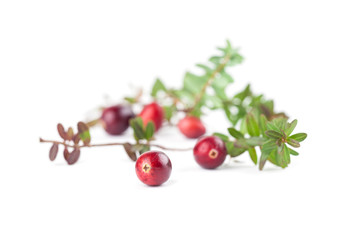 Cranberry twigs on white