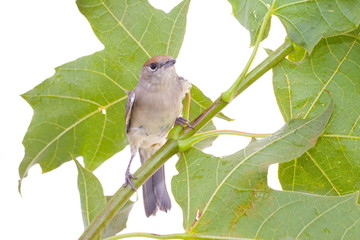 Black-cap, female sylvia atricapilla on a maple branch