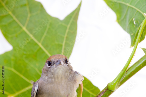 Black-cap, female sylvia atricapilla on a maple branch on a
