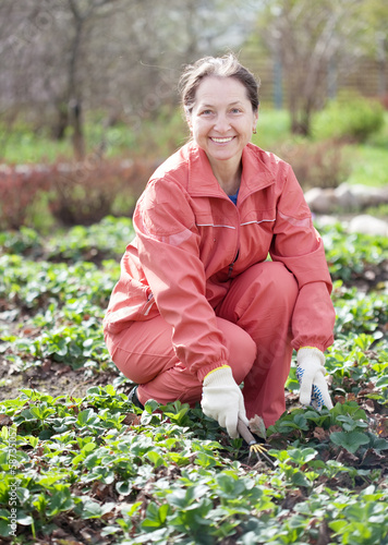 woman loosen the strawberries in spring