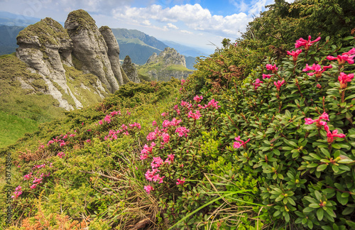 Pink mountain flowers and geological formations,Ciucas mountains