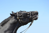 Beautiful black horse neighing against a blue sky