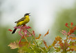 Yellow Wagtail singing on tree branch