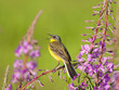 Yellow Wagtail singing on Fireweed flowers
