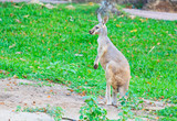 Red kangaroo and bennet's wallaby