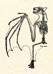 Skeleton of megabat