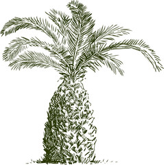 sketch of palm tree