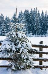 A small snow-covered tree near the fence and winter forest on th