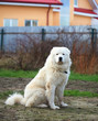 Maremma or Abruzzese patrol dog sitting on the grass in the gard