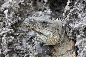 Portrait of an Iguana
