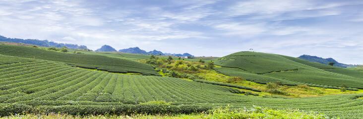 Moc Chau tea hill, Moc Chau village, Son La province, Vietnam