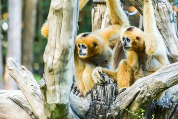 gibbon  in chiangmai zoo, chiangmai Thailand