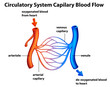 Circulatory System - Capilary blood flow