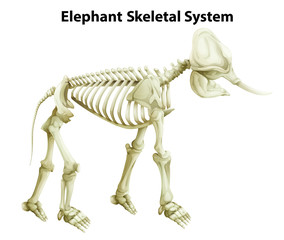 Skeletal System of an Elephant