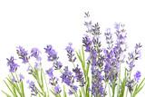 Fototapety lavender  isolated on white background