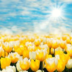 gelbes Tulpenmeer