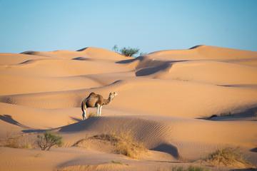 Dromadaire dans les dunes du Sahara - Tunisie