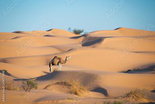 Naklejka Dromadaire dans les dunes du Sahara - Tunisie