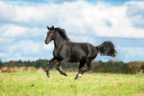 Black horse running on the meadow