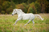 White horse running on the meadow in autumn
