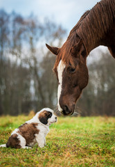 Horse and saint bernard puppy