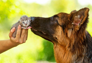 German shepherd dog kissing little tabby kitten