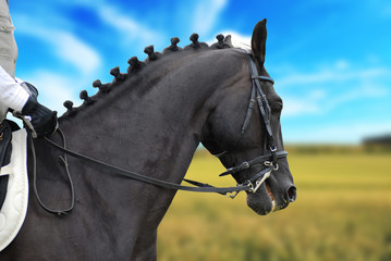 beautiful  black horse with rider