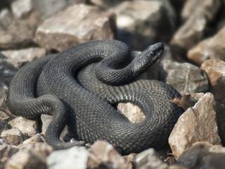 Змея на камнях