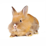 brown  fluffy rabbit