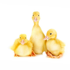 three ducklings on white