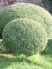 hedge of bushes in a garden cut as big and fluffy pillows of lea