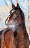 Portrait of beautiful bay horse in winter