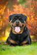 Portrait of rottweiler lying on the lawn