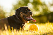Portrait of rottweiler with ball on sunset
