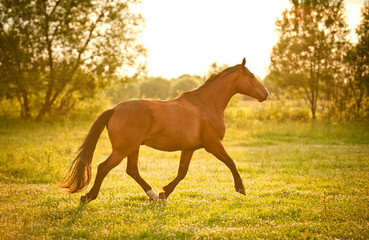 Beautiful bay horse running at field in summer