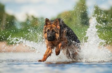 German shepherd dog jumps in water