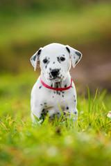 Adorable dalmatian puppy