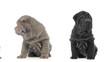 Tracking shot of Shar pei puppies sitting