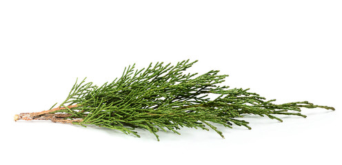 Fresh twig of juniper.