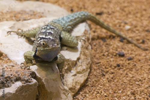 Blue spiny lizard
