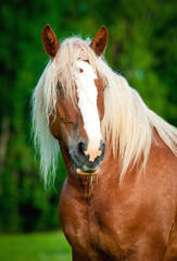 Portrait of lithuanian heavy draft horse