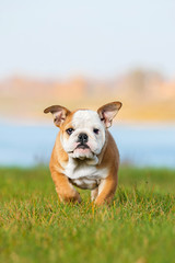 English bulldog puppy running