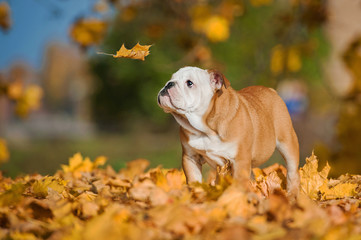 English bulldog puppy looking at falling leaf in autumn